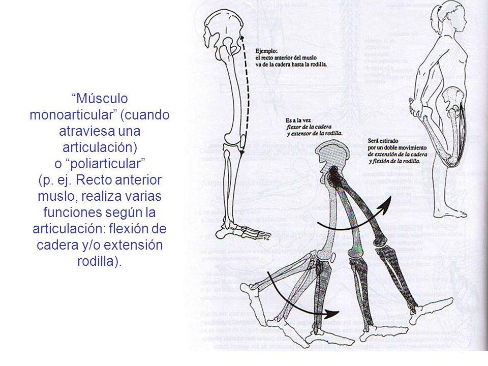 Músculos Los músculos son tejidos u órganos* del cuerpo ...