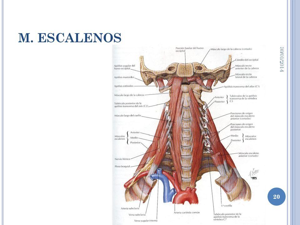 Excepcional Escalenos Molde - Imágenes de Anatomía Humana ...