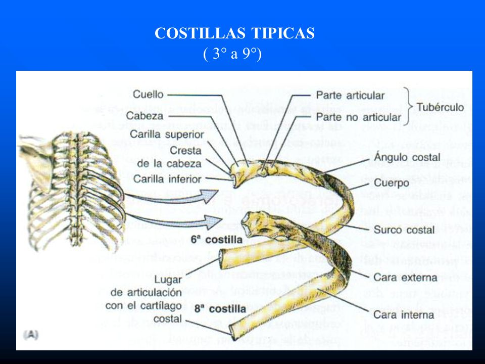 COSTILLAS TIPICAS ( 3° a 9°)