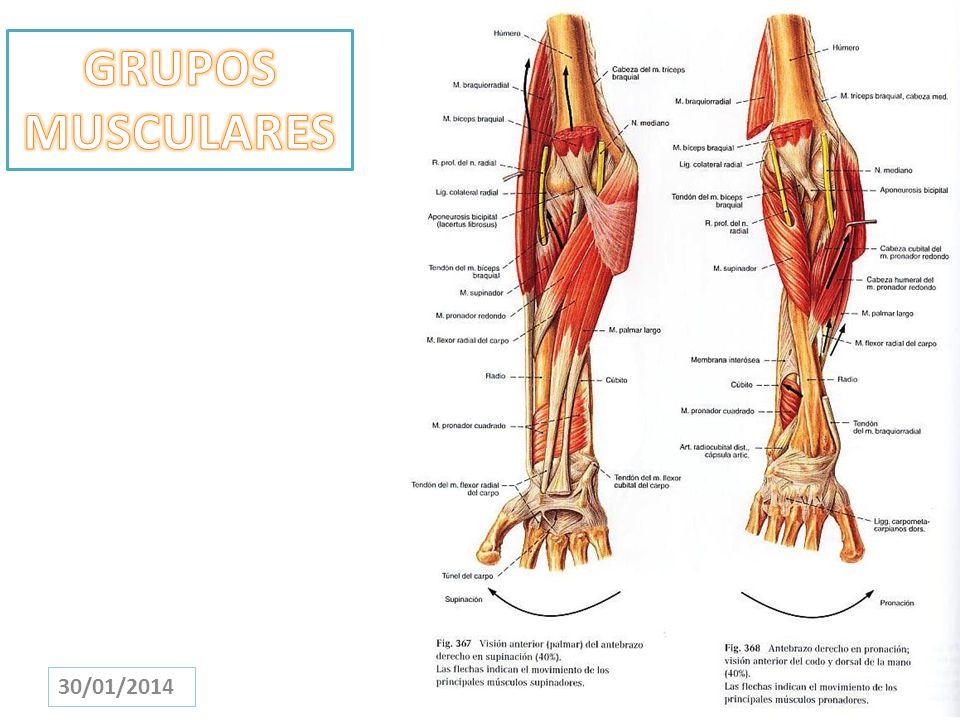 Perfecto Grupos Musculares Anatomía Humana Viñeta - Imágenes de ...