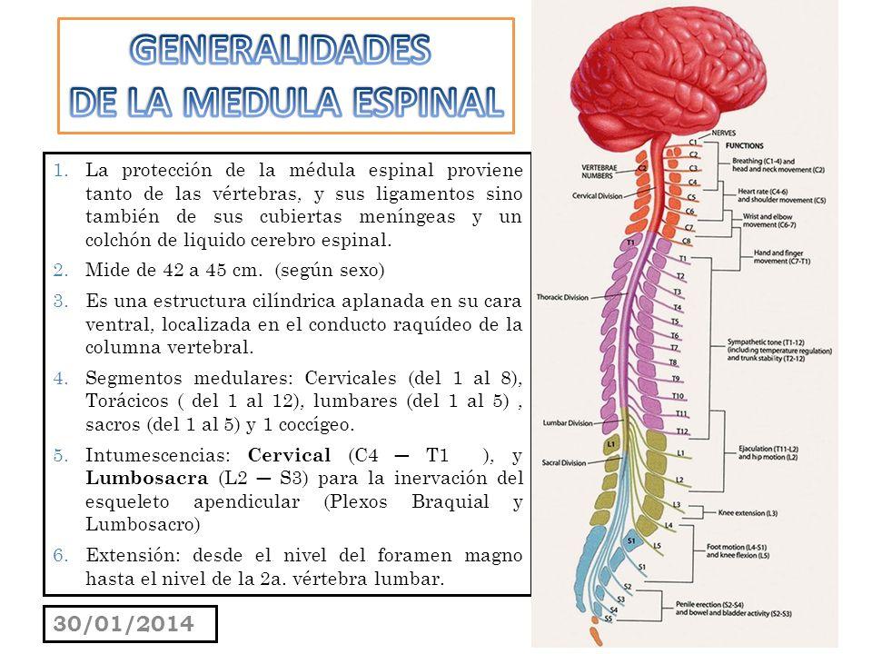 C5 CONFORMACIÓN EXTERNA E INTERNA DE LA MÉDULA ESPINAL - ppt descargar