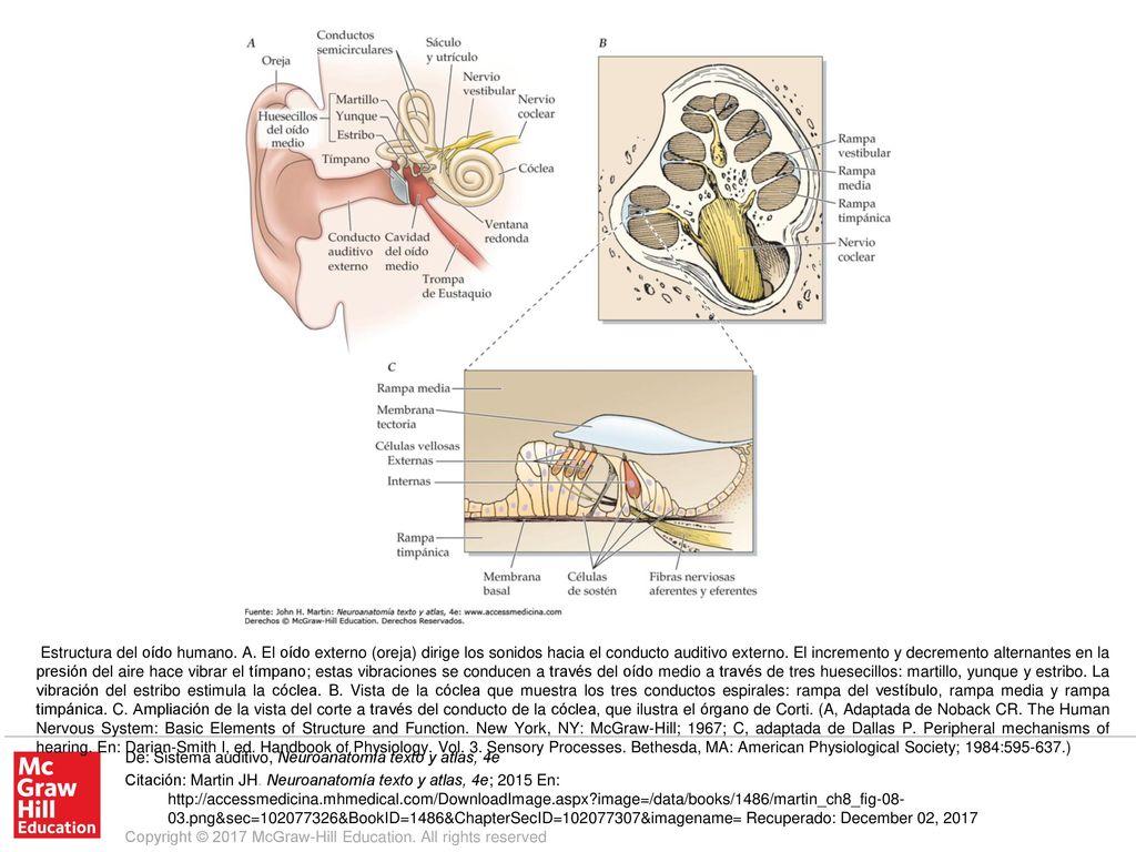 Estructura Del Oído Humano A Ppt Descargar