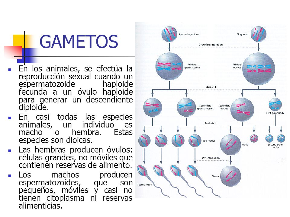 GAMETOS