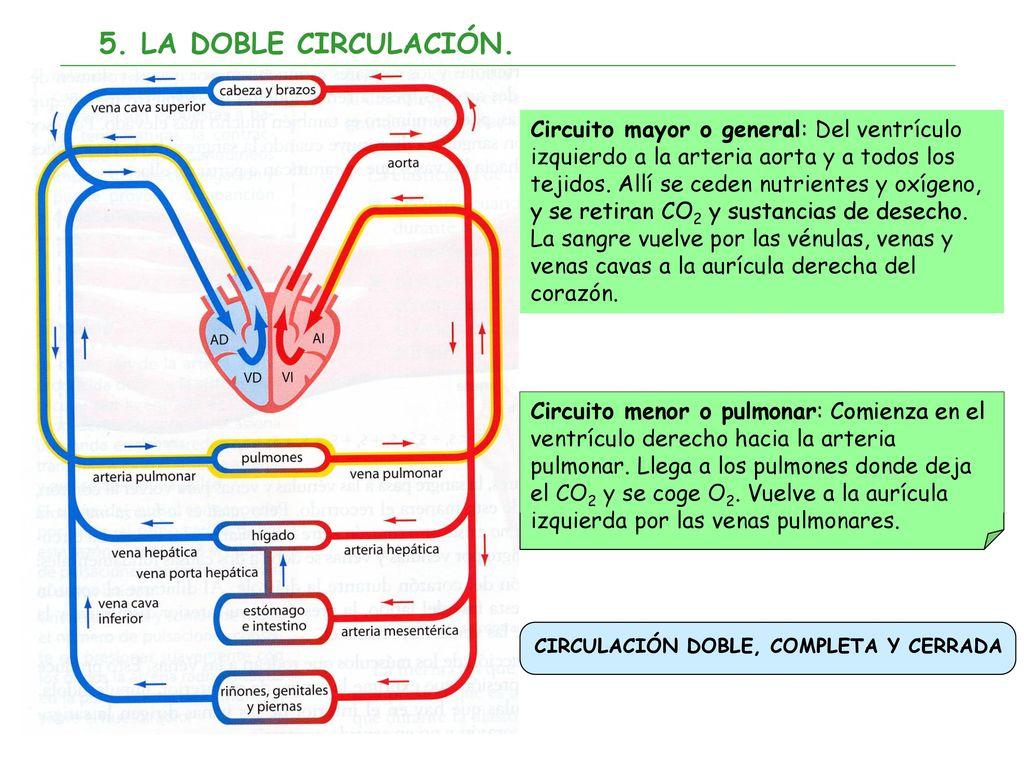 Circuito Mayor : La funciÓn de nutriciÓn: aparato circulatorio ppt descargar