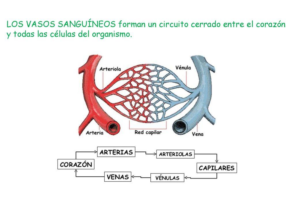 Circuito Sanguineo : La funciÓn de nutriciÓn: aparato circulatorio ppt descargar