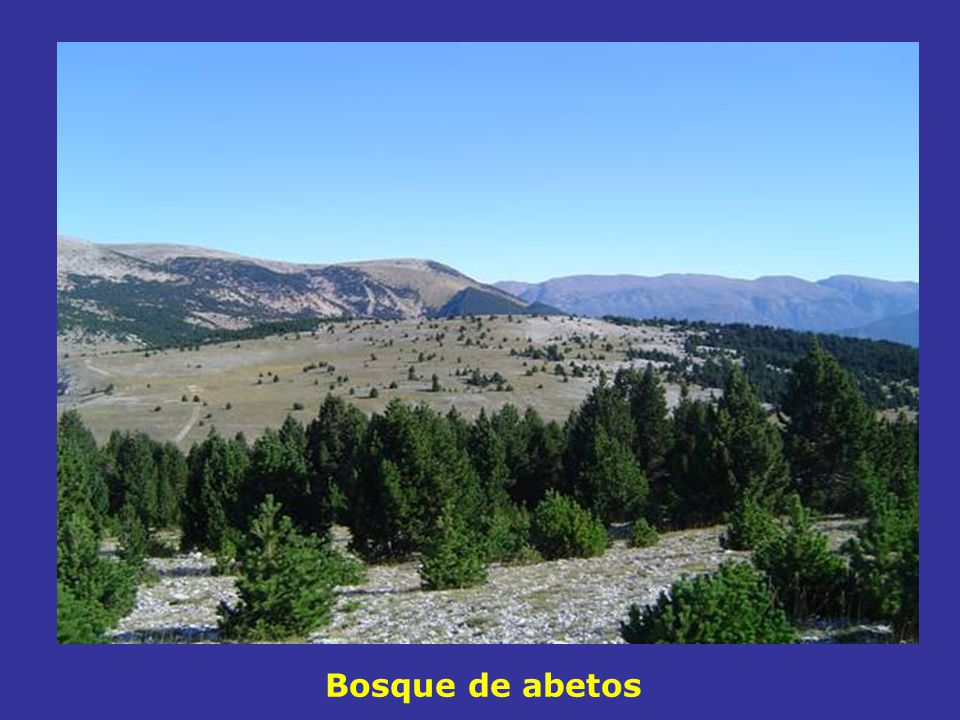 Bosque de abetos