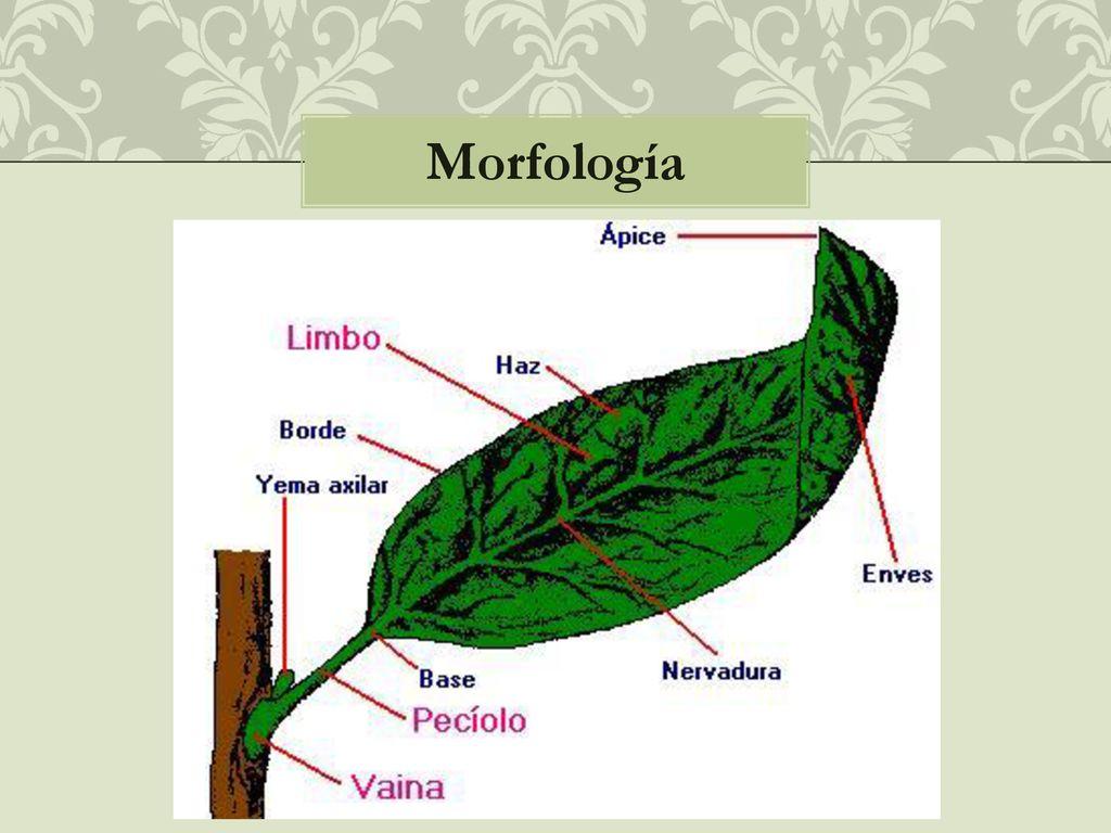Anatomía y morfología de la hoja - ppt descargar