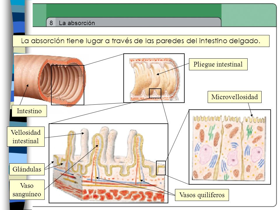 Vellosidad intestinal