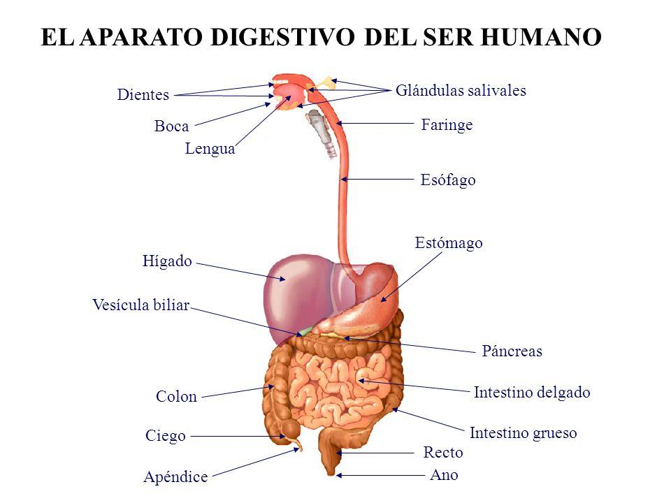 Dorable Cuerpo Humano Diagrama Apéndice Imagen - Imágenes de ...