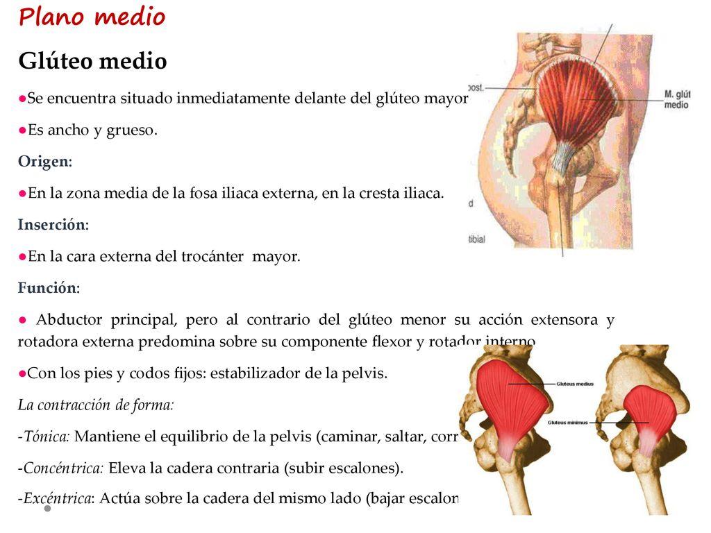 Músculos de la pelvis Pantoja Marquez Jackeline - ppt descargar