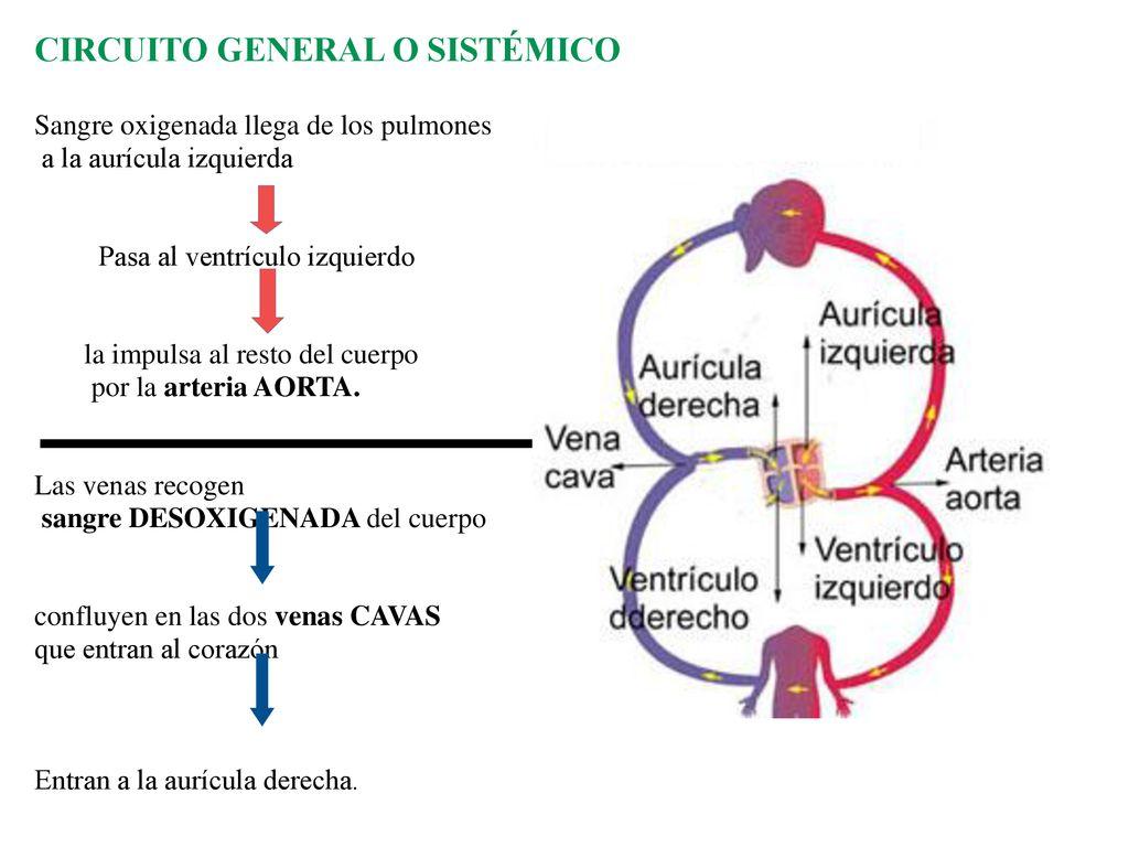 Circuito General : Sistema circulatorio para pensar: ppt descargar