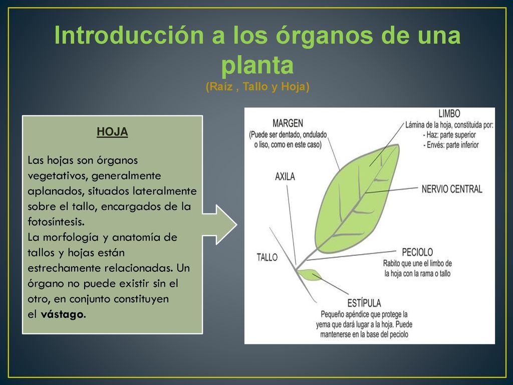 LAS PLANTAS Y SU ESTRUCTURA GENERAL Docente: Angela Morgado - ppt ...