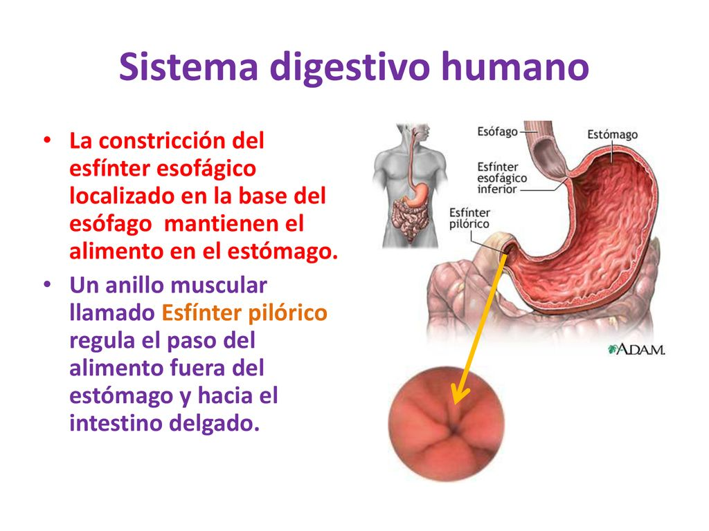 SISTEMA DIGESTIVO HUMANO - ppt descargar