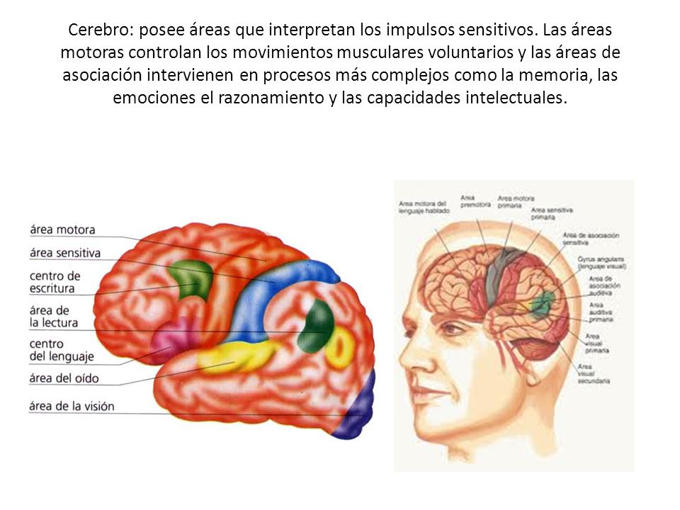 Cerebro: posee áreas que interpretan los impulsos sensitivos