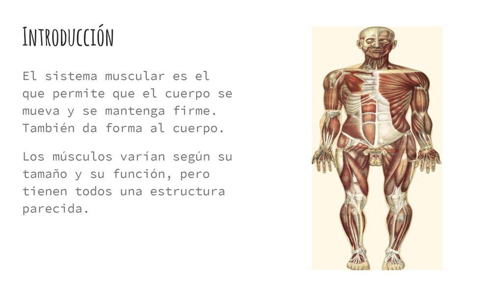 Estructura Del Sistema Muscular Ppt Descargar