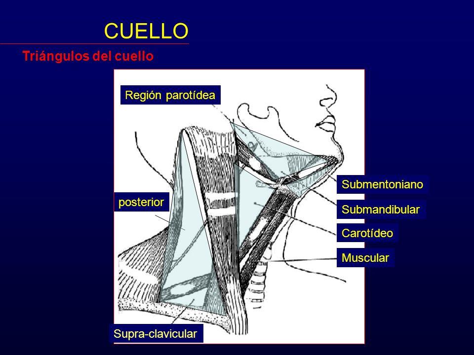 CUELLO Anatomía Es la región entre la cabeza y el tórax - ppt descargar