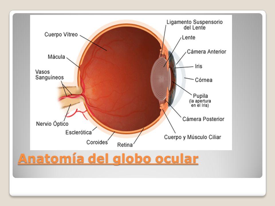 FISIOLOGIA DE LA VISION - ppt video online descargar