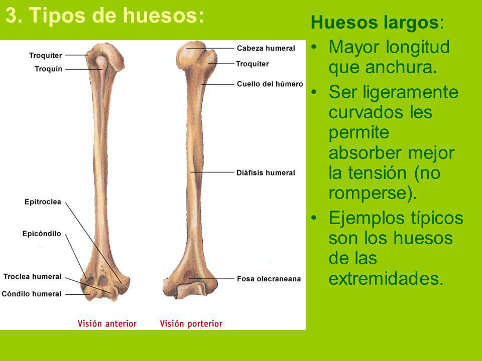 3. Tipos de huesos: Huesos largos: Mayor longitud que anchura.