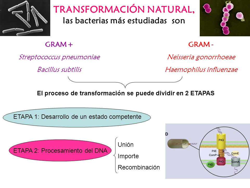 TRANSFORMACIÓN NATURAL, las bacterias más estudiadas son