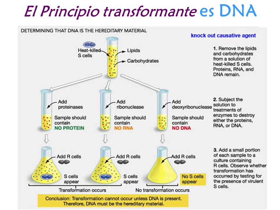El Principio transformante es DNA