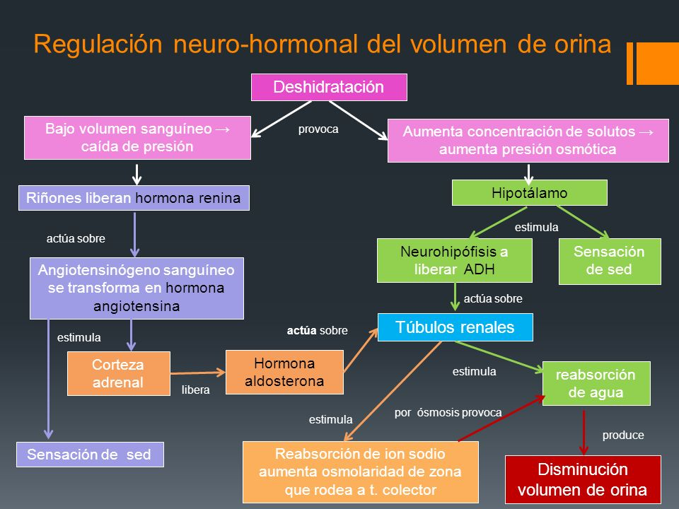 Regulación neuro-hormonal del volumen de orina