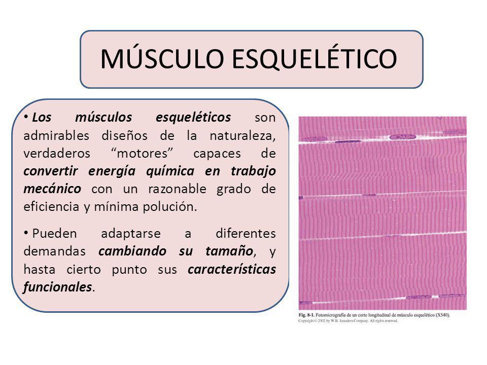 TEJIDO MUSCULAR El tejido muscular se divide en tres categorías ...