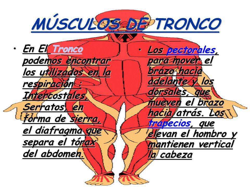 Contemporáneo Músculos Del Tronco Anatomía Componente - Imágenes de ...