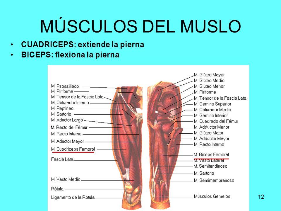 Increíble Músculo Piernas Anatomía Viñeta - Imágenes de Anatomía ...