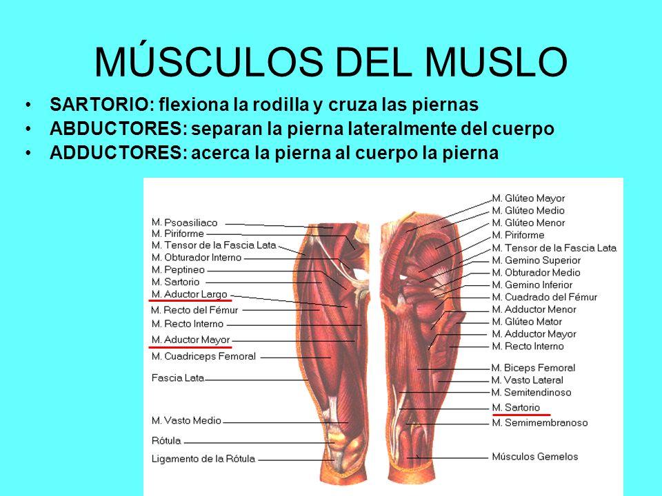 Contemporáneo Músculos De Las Piernas Anatomía Ilustración ...