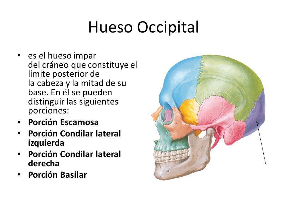 Encantador Hueso Del Cráneo Foto - Anatomía de Las Imágenesdel ...