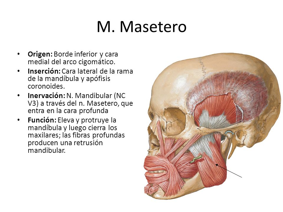 Lujoso Mandíbula Anatomía Muscular Componente - Imágenes de Anatomía ...