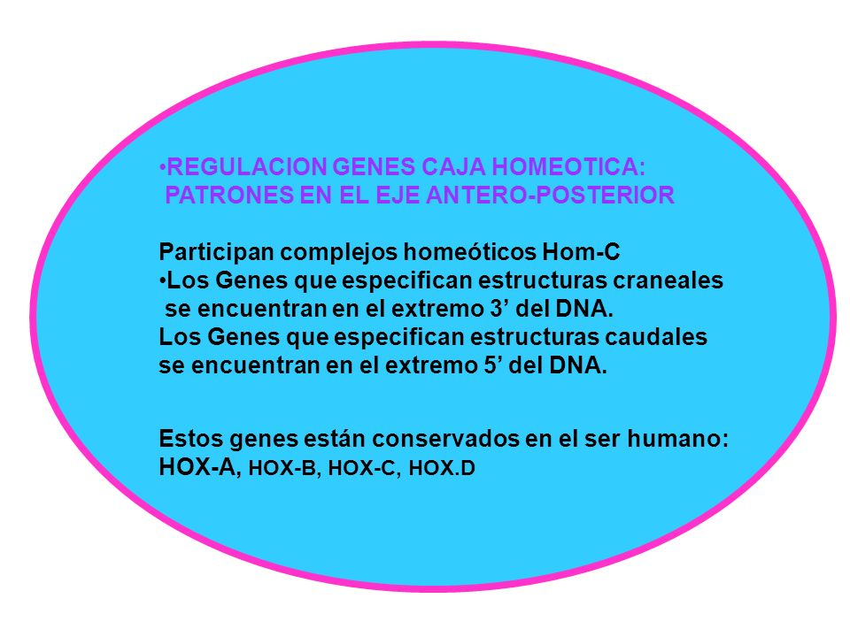 REGULACION GENES CAJA HOMEOTICA:
