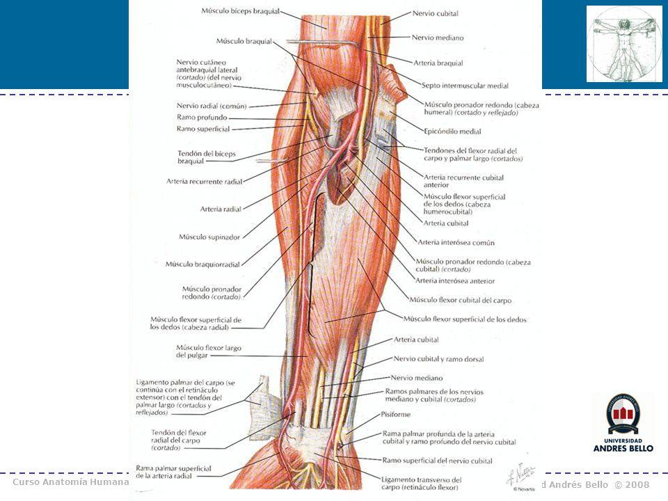 Bonito Ternero Arterias Anatomía Friso - Imágenes de Anatomía Humana ...