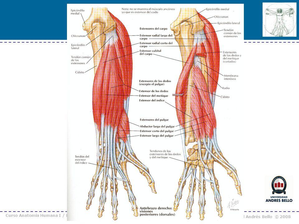 Magnífico Tendones Anatomía Del Codo Foto - Imágenes de Anatomía ...