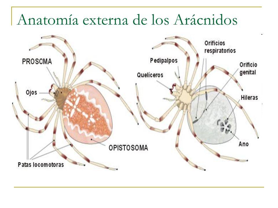 Qué son los Artrópodos? - ppt video online descargar