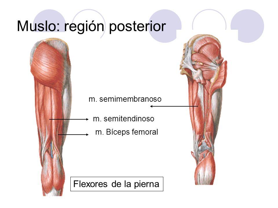 Musculos De La Pierna Region Posterior — Sceneups