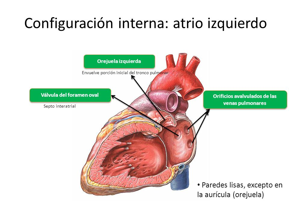Dorable Atrio Izquierdo Bandera - Imágenes de Anatomía Humana ...