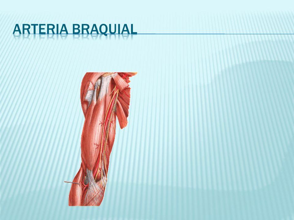 Excepcional Arteria Braquial Anatomía Bosquejo - Imágenes de ...