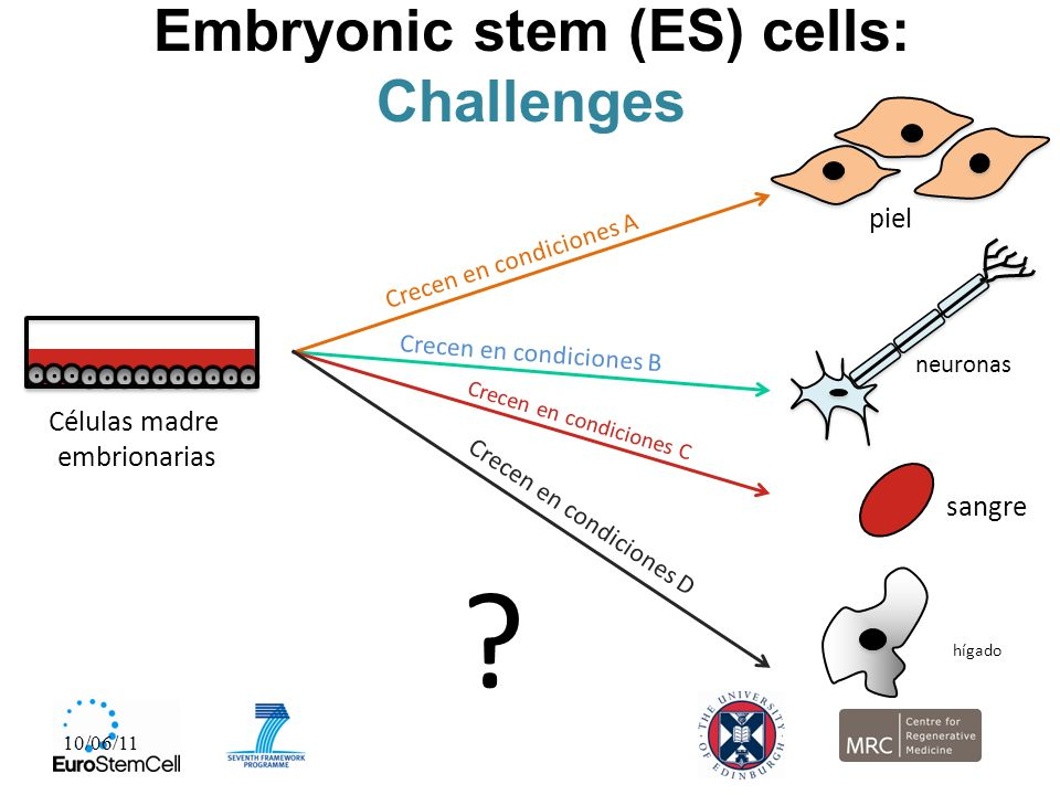 Embryonic stem (ES) cells: