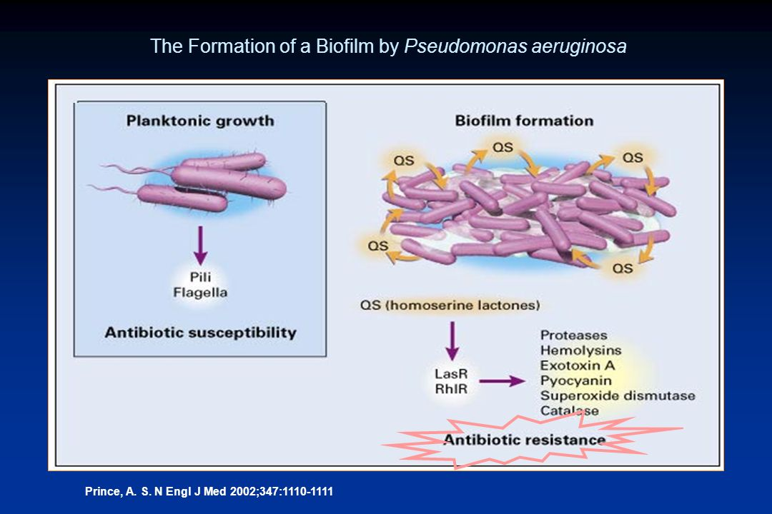 The Formation of a Biofilm by Pseudomonas aeruginosa