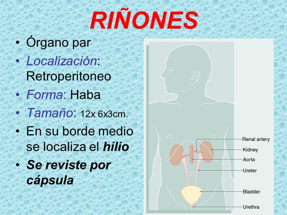 Riñones, Pelvis Renal , Ureter, Vejiga, Uretra. - ppt video online ...