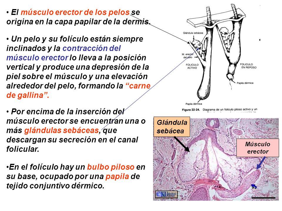 HISTOLOGÍA DE LA PIEL Dra. Elena Morales Casasola Facultad de ...
