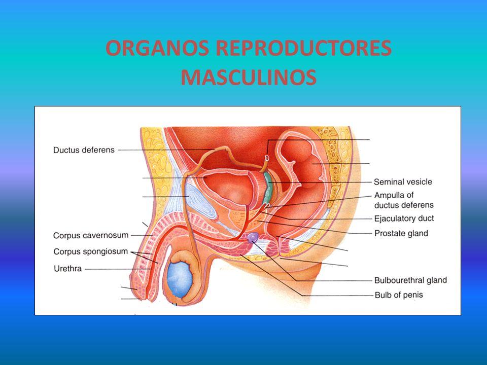 ÓRGANOS SEXUALES MASCULINOS - ppt video online descargar