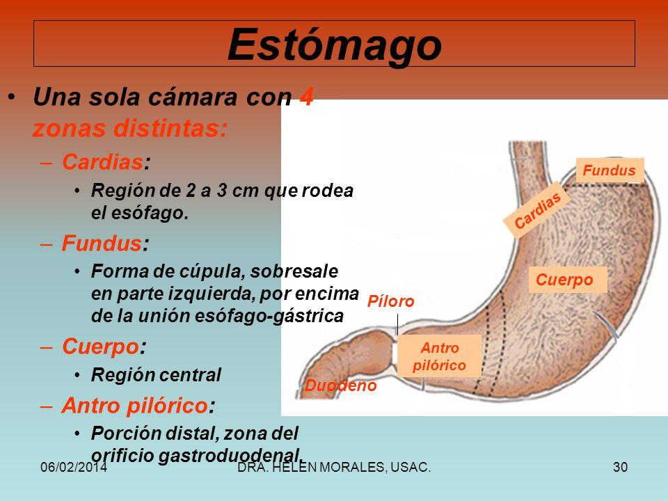 Histología del Esófago y Estómago - ppt video online descargar