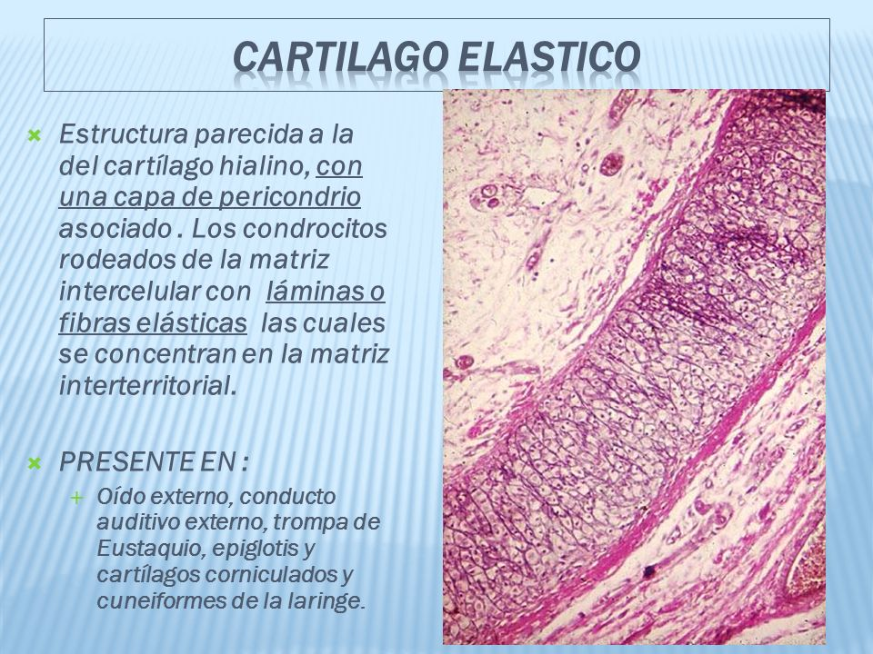 CARTILAGO ELASTICO