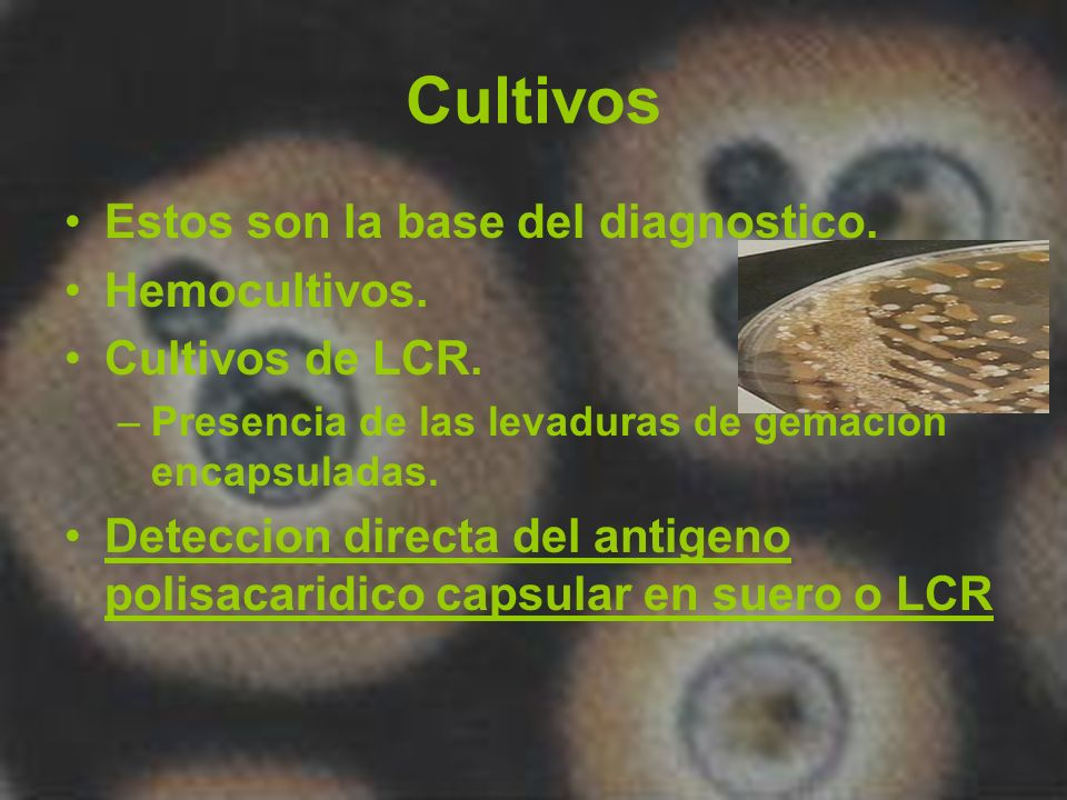 Cultivos Estos son la base del diagnostico. Hemocultivos.