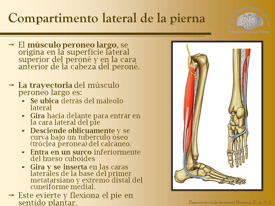 Asombroso Inferior Anatomía Hueso De La Pierna Imagen - Imágenes de ...