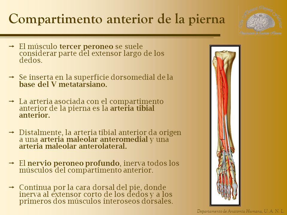 UNIDAD 6. Extremidad Inferior - ppt video online descargar