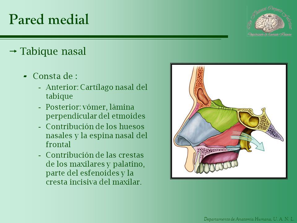 Pared medial Tabique nasal Consta de :