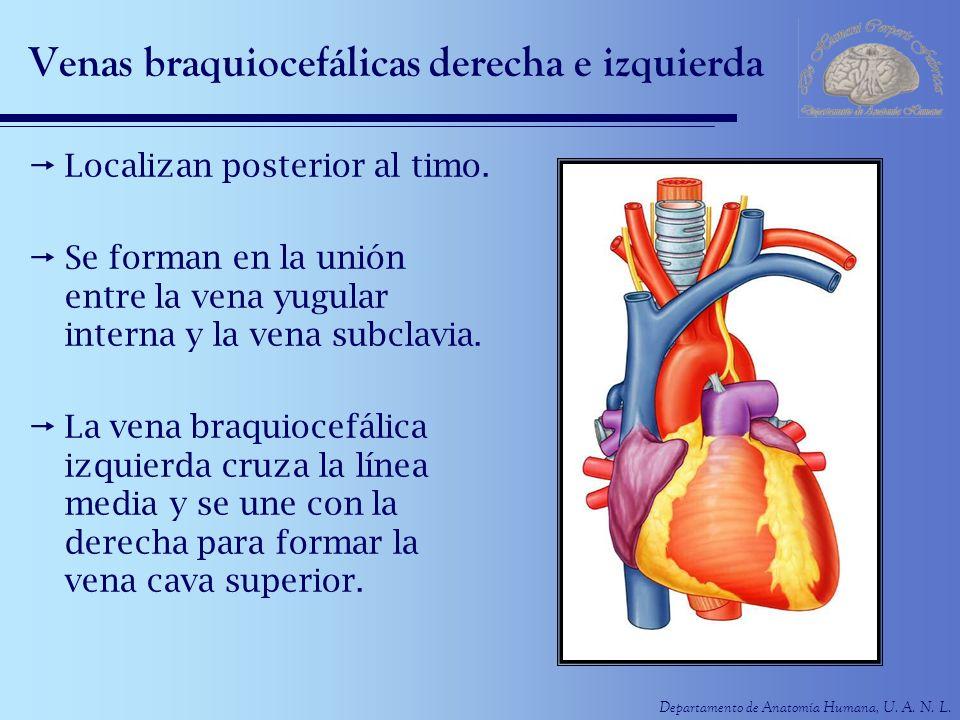 Hermosa La Vena Cava Superior Anatomía Elaboración - Anatomía y ...